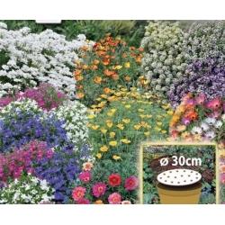 Lillene vaip - kääbuste üheaastaste lillede segu - 30 cm laiune seemnekett -
