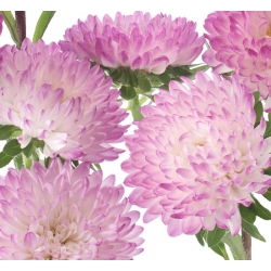 """Peony-flowered aster """"Anielka"""" - white-pink - 360 seeds"""
