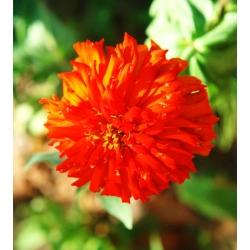 "Chrysanthemum-flowered zinnia ""Red Man"" - red - 108 seeds"