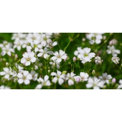 """Annual baby's breath """"Covent Garden"""" - white; Showy baby's breath - 2520 seeds"""
