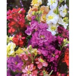 """Hoary stock """"Varsovia Bona"""" - pale yellow; gilly flower"""