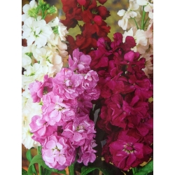 "Hoary stock ""Varsovia Rena"" - amaranth-purple; gilly flower"