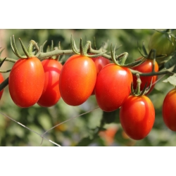 """Tomato """"Tutti Frutti F1"""" - tall, cocktail variety for cultivation in the field and under covers - 7 seeds"""