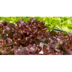 "Leaf, red-green lettuce ""Flamenco"""