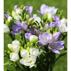 Fresia blanca y azul de una sola flor - 60 uds. -