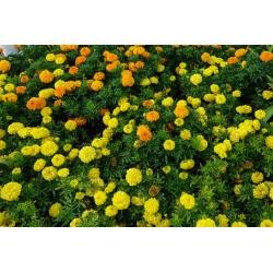 Mehhiko saialill, sidruni kollane ja oranž - kahe sordi seemnete komplekt -  - seemned
