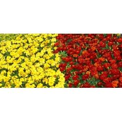 Cúc vạn thọ Pháp - nâu + vàng - một bộ hạt giống của hai giống -