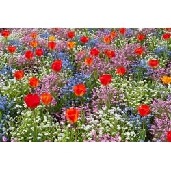 Narancssárga tulipán, kék, rózsaszín és fehér alpesi felejthetetlen - izzó és magvak -  - magok
