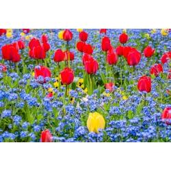 Punane tulp ja sinine alpine unustasid - pirn ja seemned -