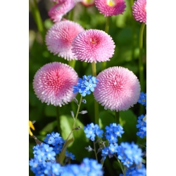 Pink daisy + forget-me-not - biji dari 2 spesies -