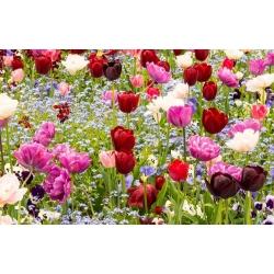 Tulip - sordi segu ja sinine alpine unustamata pirn ja seemned -