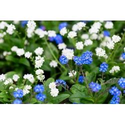 Alpine-un-me-not - sinine ja valge, kahe sordi seemnete kogum -  - seemned