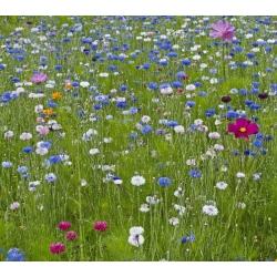 Cosmos + hoa ngô - một bộ hạt của hai loài hoa -