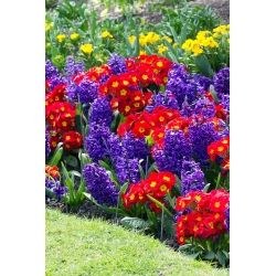 Blue hyacinth and common primrose variety mix - bulb and seeds set