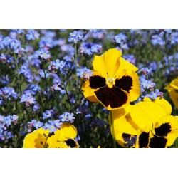 Banci taman berbunga besar + biru forget-me-not - satu set benih dua spesies bunga -  - biji