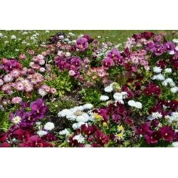 Vườn hoa lớn pansy + hoa cúc lớn - một bộ hạt của hai loài hoa -