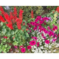 Alyssum, petunia ja skarletne salvei - 3 õistaimeliigi seemned -