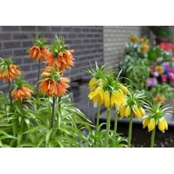 Bicolour crown imperial set – orange and yellow – 6 pcs