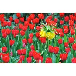 Набор желтой короны имперский и красный тюльпан - 18 шт. -