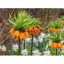 Orange crown imperial and white daffodil – 18 pcs