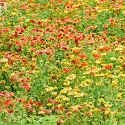 Gaillardia Sundance seeds - Gailardia pulchella - 250 seeds