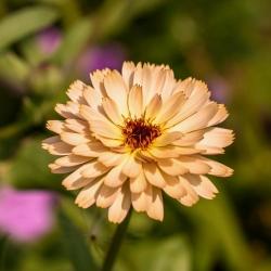 Botón de oro - Pink Surprise - 240 semillas - Calendula officinalis