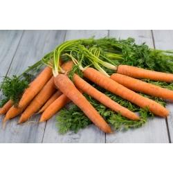 Zanahoria - Nantejska Polana - 5100 semillas - Daucus carota