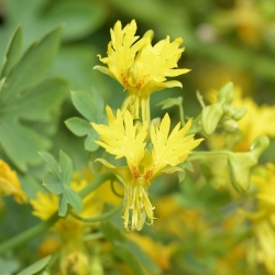 Canary creeper, Canarybird flower, Canarybird vine, Canary nasturtium - 8 seeds