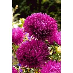 """Needle-petal aster """"Cinderella"""" - carmine-red - 225 seeds"""