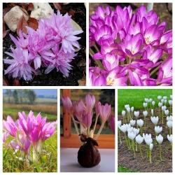 Őszi sáfrány (Colchicum) - készlet 5 odmian - 10 db; meztelen hölgy -