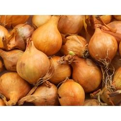 Dārza sīpol - Bila - sēklu lentes - Allium cepa L. - sēklas
