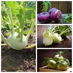 Kohlabi - 4 köögiviljataimede sortide seemnete kogum -  - seemned