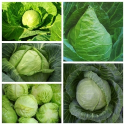 Repollo blanco - set 2 - semillas de 5 variedades de plantas vegetales -