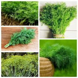 Dill - hạt giống của 5 loại cây rau -