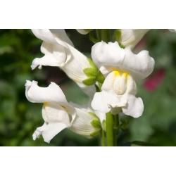 Tall snapdragon - white