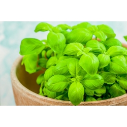 Mini garden - Green basil - for balcony and terrace cultures