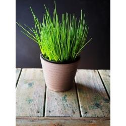 حديقة مصغرة - الثوم المعمر - للزراعة على الشرفات والمدرجات. صاروخ -  Allium schoenoprasum - ابذرة