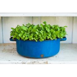 Rukola - Eruca sativa - seemned
