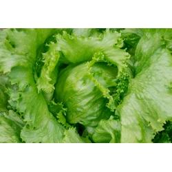 """Iceberg lettuce """"Kinga"""" - COATED SEEDS"""