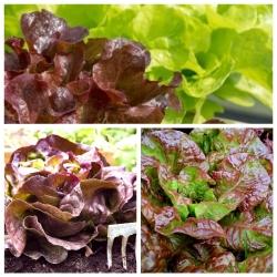 Selada merah-hijau - biji dari 3 varietas tanaman sayuran -