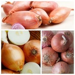 Hành tây - bộ hạt của 3 giống cây trồng rau; eschalot -