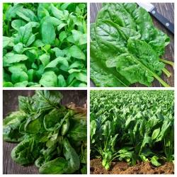 Spinach - seeds of 4 vegetable plants' varieties
