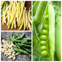 Đậu rộng, đậu, đậu - hạt của 3 loài thực vật -