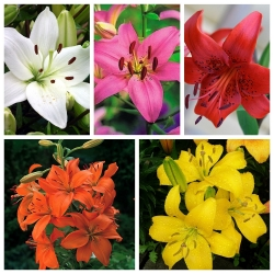 Asiatic lily – a set of primary colours – 15 pcs