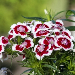 Sweet William Holborn Glory seeds - Dianthus barbatus - 450 seeds