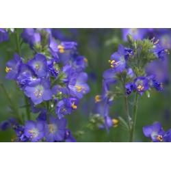 Сходи Джекоба змішані - Polemonium coerulea - 200 насіння - Polemonium caeruleum