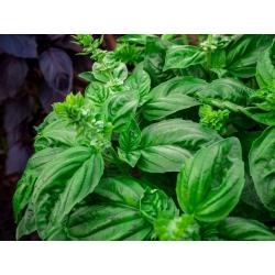 World Cuisine -  Lettuce-leaved basil