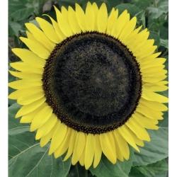 """Poola lilled - keskmise pikkusega päevalill """"Amor Arnold"""" - seemned"""