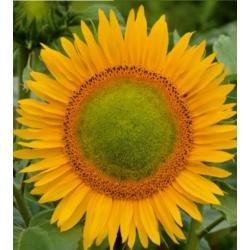 """Poola lilled - kõrge päevalille - """"Amor Amant"""" - seemned"""