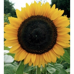 """Poola lilled - keskmise pikkusega päevalill """"Amor Anter"""" - seemned"""
